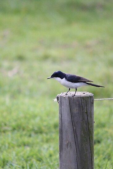 Restless Flycatcher by EnviroKey