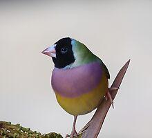 Gouldian Finch by EnviroKey