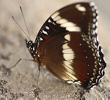 Varied Eggwing Butterfly by EnviroKey