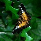 black, white, gold butterfly 679 by michaelBstone