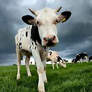 Inquisitive Calf by Dave McAleavy