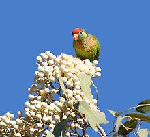 Varied Lorikeet ~ My Gum Blossom Throne  by Robert Elliott
