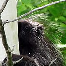 Porcupine by Rose Gallik