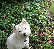 A Westie in ma Wee Heelands by MarianBendeth