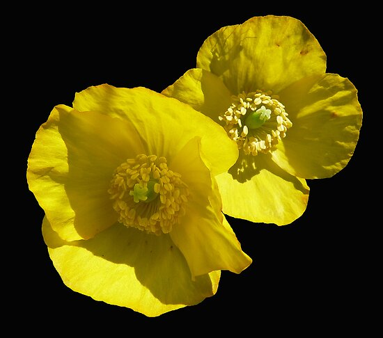 Yellow poppy by Photos - Pauline Wherrell