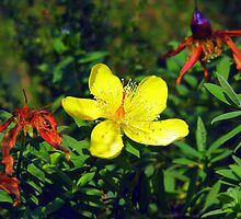 Yellow flower (Hypericum) by Elizabeth Kendall