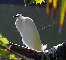 Egret overlooking Lake Beauclair Orange Co. FL by michaelBstone