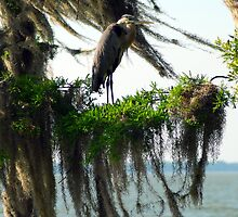 Great Blue Heron on Cypress Tree by michaelBstone