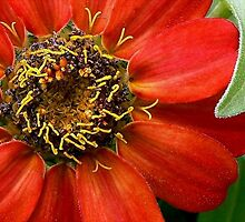 Zinnias Aren't Perfect! by paintingsheep