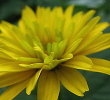 Citrus Daisy by MarianBendeth