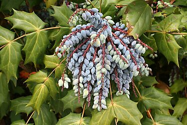 Leatherleaf Mahonia by Karen K Smith