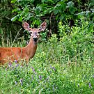 White Tailed Deer Doe - Ontario by Michael Cummings