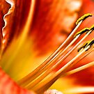 Beautiful Orange Daylily by T.J. Martin