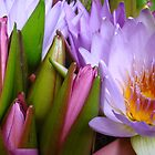 Water Lillies, Matakana Markets, Northland, New Zealand by Amaterasu