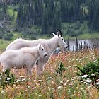 Mountain Goats at Hidden Lake by JamesA1