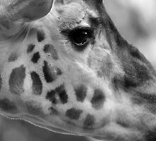 Giraffe by David Heckenberg
