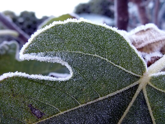 Frost Fringed Fig Foliage by LouJay