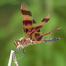A male Halloween Pennant dragonfly. by William Brennan