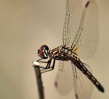 Blue Dasher III by Chris Morrison