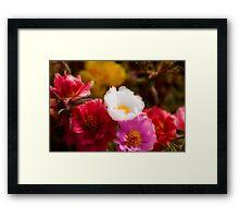 Portulaca Framed Print