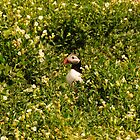 Puffin Amongst the Sea Campion - Farne Island, UK by Derek McMorrine