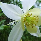 White Columbine by Bill Hendricks