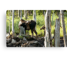 Bull Moose & Little Buddy Canvas Print