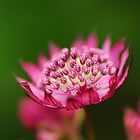 Astrantia Major (Abbey Road)  by Derek McMorrine