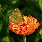 Yellow on Orange by eaglewatcher4