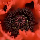 Poppy Love by Susan Dost