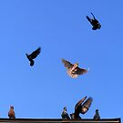Rock Doves in Flight by elasita
