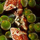 Porcelain Crab by Ryan Pedlow