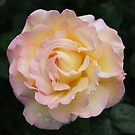 Old Meylan rose from my garden by eveline