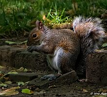 Grey Squirrel by David J Knight