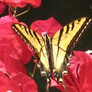 Tiger Swallowtail by jsmusic