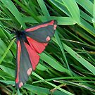 Cinnabar Moth : one by sarnia2