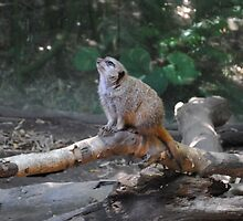 marvelous meerkat by Erica Sprouse