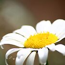 Lazy Daisy by Michael Kelly