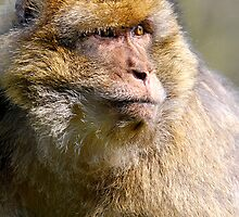 Barbary Macaque (Macaca sylvanus) by Robert Taylor