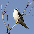 Black-shouldered Kite by Kerryn Ryan, Mosaic Avenues
