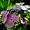 Violet Spray - Butchart Garden (Victoria, B.C.) by Britland Tracy