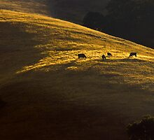Black Angus at Dawn by Zane Paxton