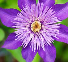 Clematis Puffy Purple by Deborah  Benoit