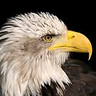 Bald Eagle - (Haliaeetus leucocephalus) by Robert Taylor