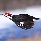 Lateral Movement / Pileated Woodpecker by Gary Fairhead