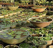 lotus flower by bayu harsa