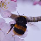 Bee in apple blossom tree by Rob-Yates