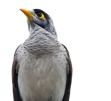 Noisy Miner by Jason Asher
