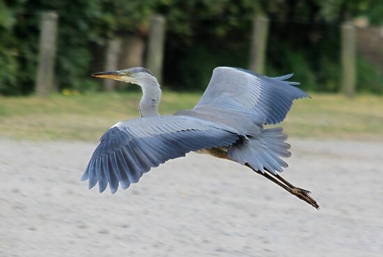 Great Blue Heron in flight  by DutchLumix