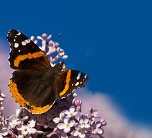 Red Admiral by Kathy Weaver